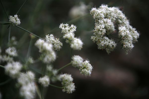 California buckwheat. Photo: Francine Orr/LA Times