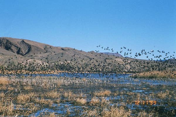 Green-winged teal at Pahranagat National Wildlife Refuge, Lincoln County, Nebraska. Source: US Fish & Wildlife Service