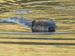 20091015__out_beavers_1018~1_300