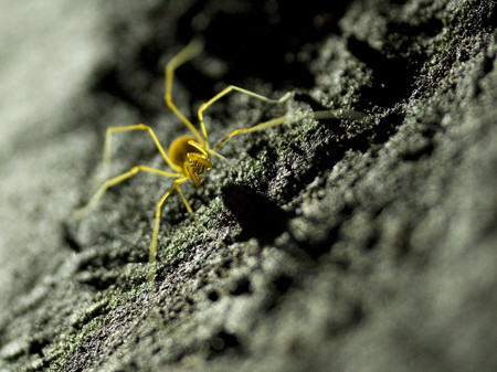 Model Cave Harvestman spider, Great Basin National Park. Photo: John Locher / Las Vegas Review Journal
