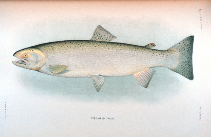 Steelhead Trout. Source: NOAA