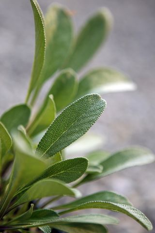 Sonoma sage leaf. Photo: Los Angeles Times / Myung J. Chun. All rights reserved.