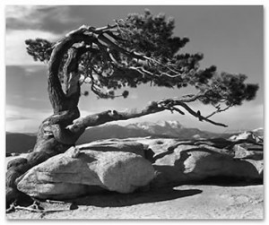 Ansel Adams photo of Jeffrey pine, Sentinel Dome, Yosemite National Park.