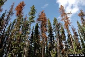 British Columbian stand of lodgepole pines infested with mountain pine beetles. Photo: Ronald F. Billings, Texas Forest Service, Bugwood.org