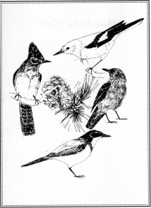 "The North American Corvids that harvest, eat and cache pine nuts. Clockwise from top: Clark's Nutcracker, Pinyon Jay, Scrub Jay, Steller's Jay. Sketch by Claudet Kennedy. Source: ""Made for Each Other"" by Ronald Lanner, Oxford University Press, 1996"