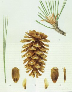 "Ponderosa pine * Pinus ponderosa. Illustration Eugene O. Murman. From ""Conifers of California"" by Ronald M. Lanner. Cachuma Press, 1999. All rights reserved"
