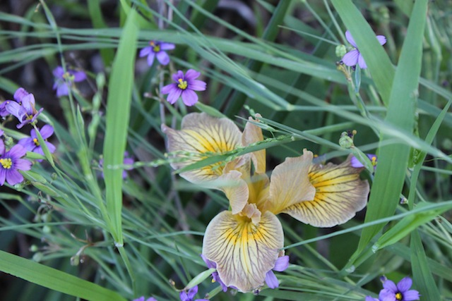 Pacific coast iris and blue-eyed grass. Photo: Emily Green