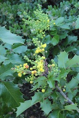 Mahonia showcased in a bejeweled hedge at Rancho Santa Ana Botanic Garden.