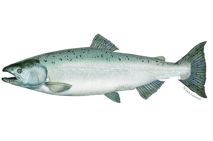 More than oranges, oil or movies, California's greatness once rested in its salmon. Click on the NOAA image to learn more from the federal Department of Commerce about winter-run Chinook salmon.