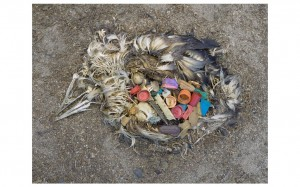 Digital print of unaltered stomach contents of a Laysan albatross fledgling, Midway Island by Chris Jordan. Part of the Exhibit Plastic Fantastic? at the Honolulu Museum of Art. Click on the image for details of the show.
