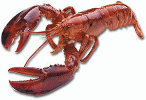 American lobster. Click on the Homarus americanus to learn more about the American lobster from NOAA Greater Atlantic Region Fisheries.