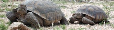 MOJA_two-tortoises