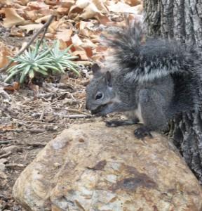 Wester gray squirrel. Photo: Alan Muchlinksi