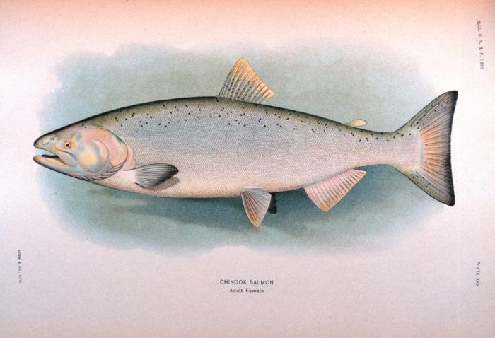 Chinook Salmon. Source: NOAA