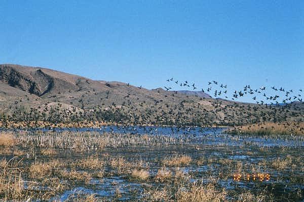 Green-winged teal at Pahranagat National Wildlife Refuge, Lincoln County, Nebraska. Source: US Fish & Wildlife Service