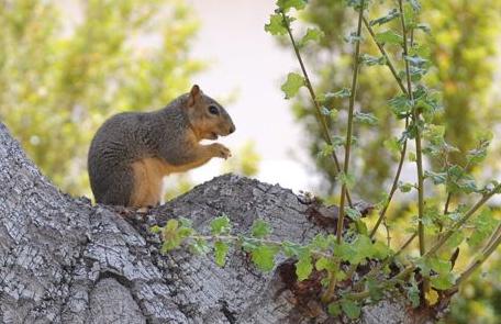 Eastern fox squirrel. Photo: Ilsa Setziol