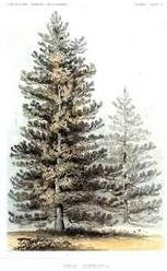 dendrology-210-Pinuscon