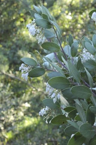 Manzanita flowers.